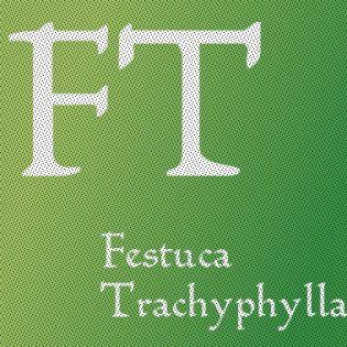 Festuca Trachyphylla